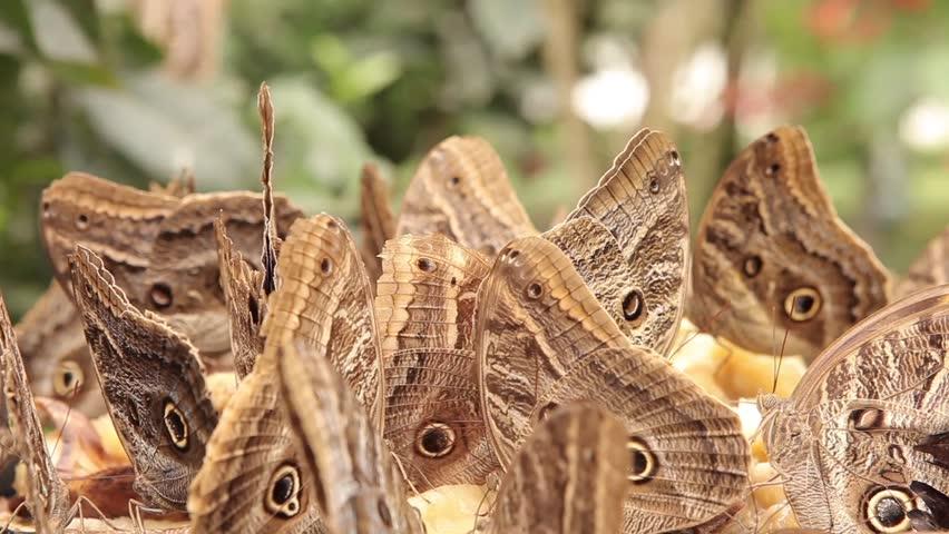 Owl butterflies eating