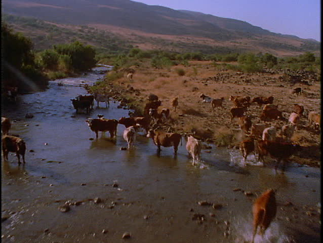 Cattle graze near a river.