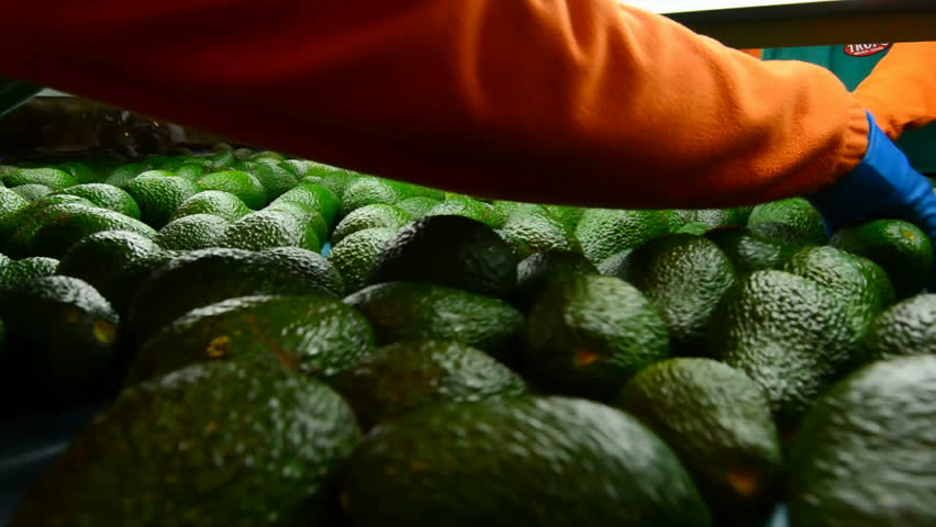 Avocado fruit in industrial packaging line
