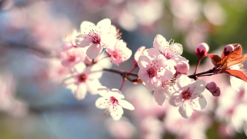 Circular closeup panoramic scene across blooming pink cherry branch on blur sunny background. Beautiful nature composition of Japanese Sakura in springtime. Shallow dof Slow motion full HD 1920x1080