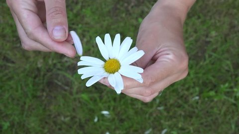 woman hands playing he loves me, he loves me not by tearing off petals of daisy flower. Static closeup shot. 4K