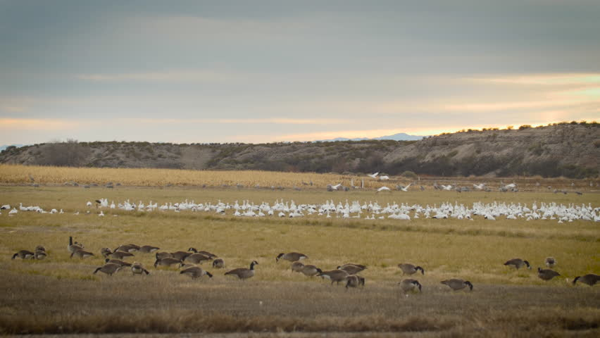 Snow geese take off from flock between sandhill cranes in back and canada geese in front near corn field - P1080572 | Shutterstock HD Video #14197442