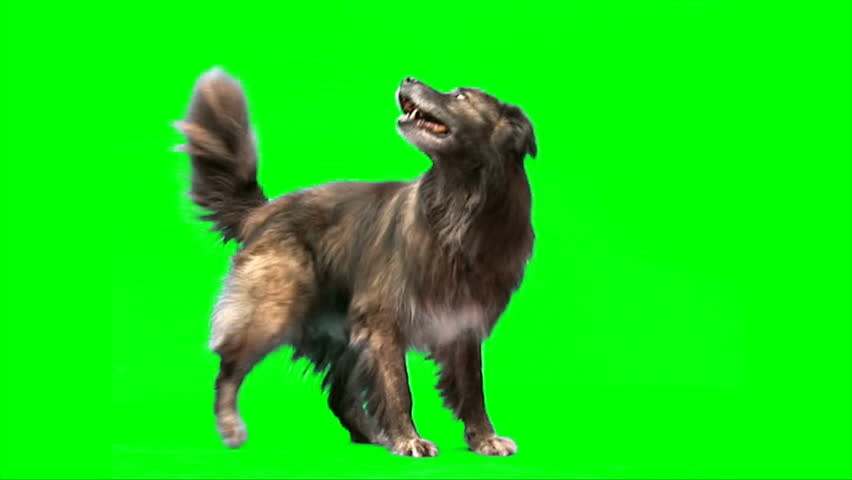 Big sheep dog stands on green screen #1430452