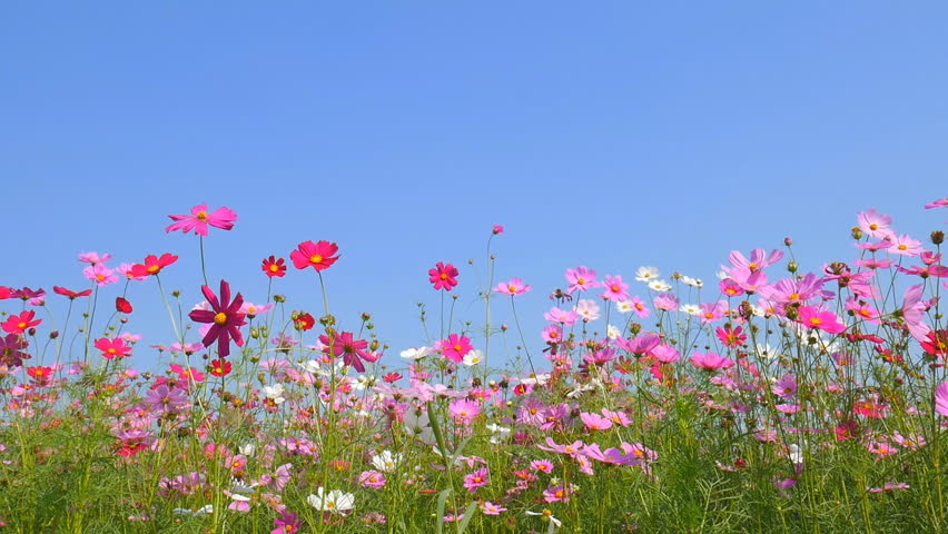 cosmos flower field with blue sky background #14310805