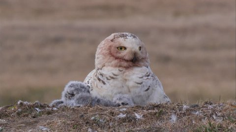 MS Young owlets and adult Snowy Owl (Bubo scandiacus) in nest