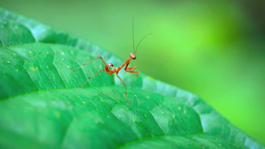 Juvenile. red praying mantis. swaying back and forth. seemingly stretching his long legs. as he waits in ambush on a green leaf in a garden. Video 4k