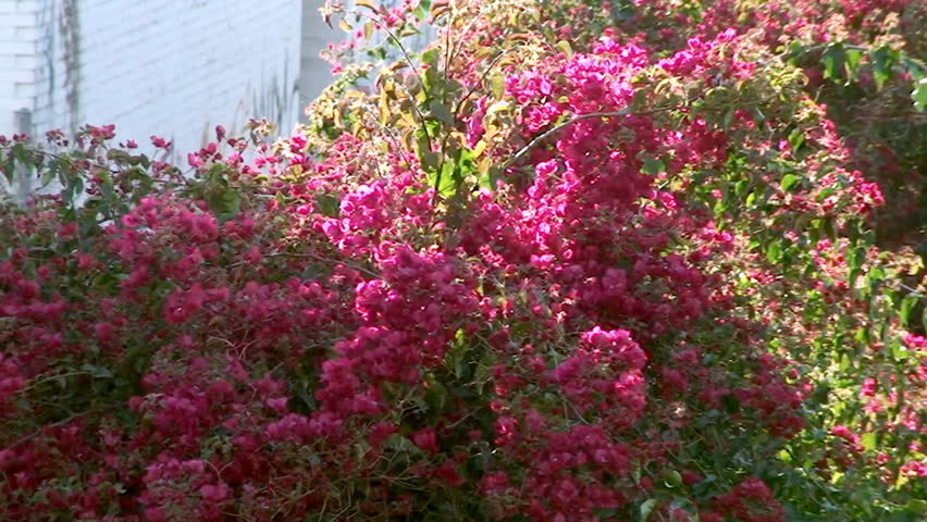 Hot Pink Flowers Downtown Hd Stock Video Clip