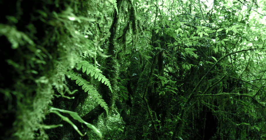 Mossy trees in dense humid forest of highlands in Cameron  slider camera video