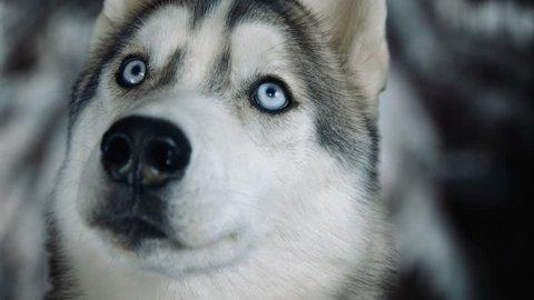 Dog siberian husky on winter background. 4K high detailed footage. Shot on black magic cinema camera.