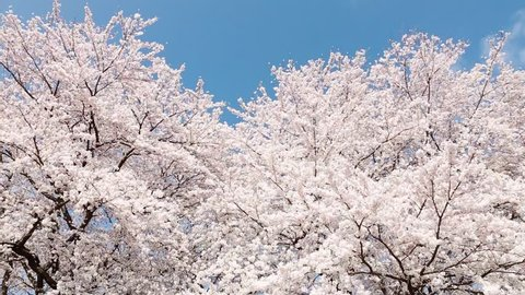 Japanese spring landscape with cherry blossom