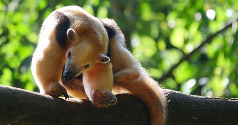 Giant anteater - Brazilian Tamandua Bandeira. Brazil Forest.
