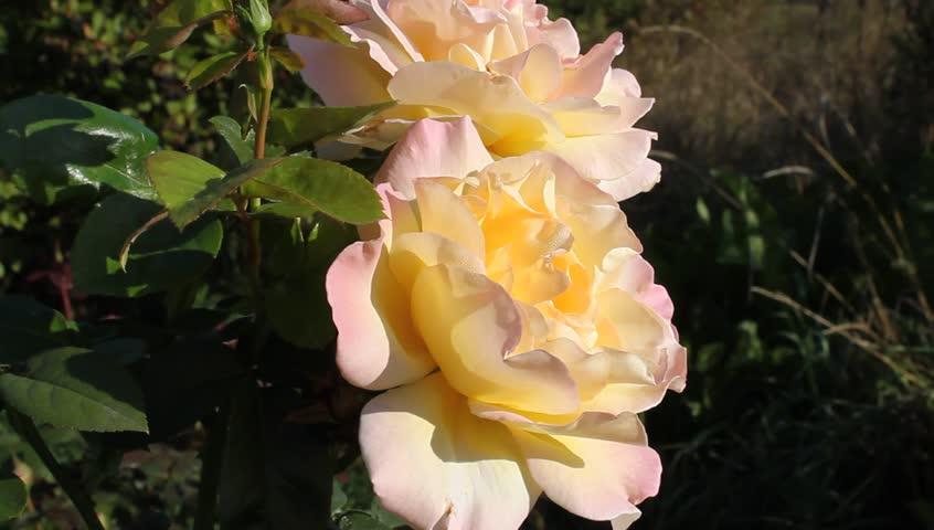 Flowers - rose varieties - Glory | Shutterstock HD Video #1443346