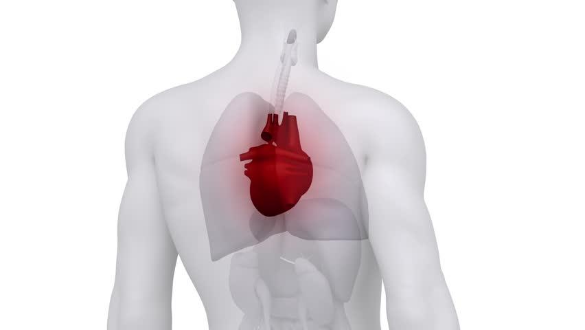 Male scan HEART anatomy in white loop
