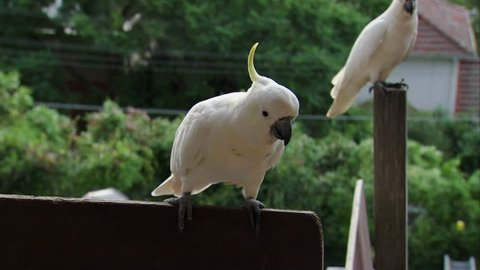 MS Cockatoo (Cacatua galerita) being fed by keeper / Sydney, New South Wales, Australia