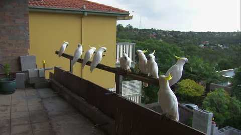 WS Cockatoo (Cacatua galerita) perching on railing / Sydney, New South Wales, Australia
