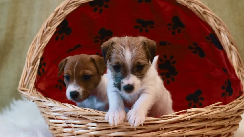 Two puppy jack russell terrier #14541178