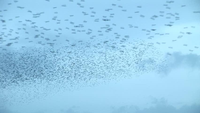 Large flock of starlings in blue sky | Shutterstock HD Video #14583082