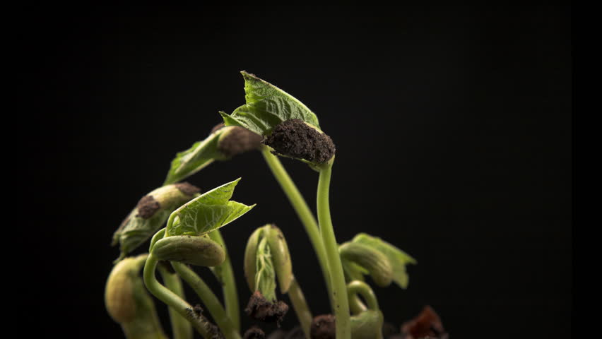 Time-lapse of growing haricot