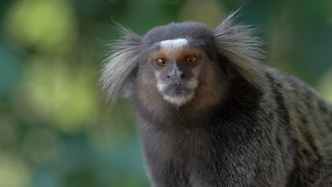 Sagui monkey in the wild, looking around and jumping out of scene in Rio de Janeiro, Brazil. The black-tufted marmoset (callithrix penicillata) lives primarily in the Brazilian tropical forests.