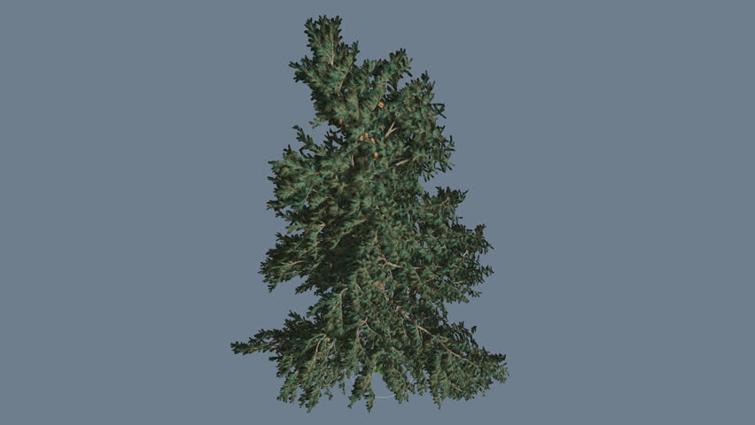 Header of Abies Concolor