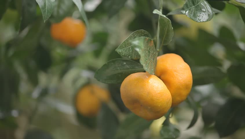 a person touches a ripe orange mandarins on the tree. Hand Picking Tangerine in a Tangerine Tree Two citrus fruit hanging on a branch. branch moving in the wind. bright color. useful food for people.