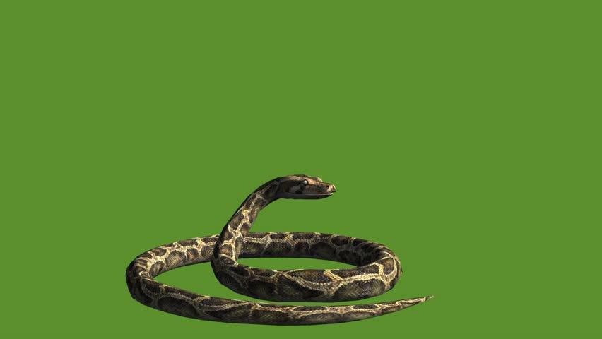 Snake & jungle carpet python attack,sliding decorative non venomous,wild animal herpetology background. cg_01929