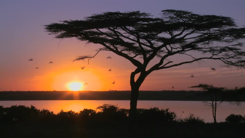 Birds fly through a beautiful sunset shot on the plains of Africa with acacia tree foreground.