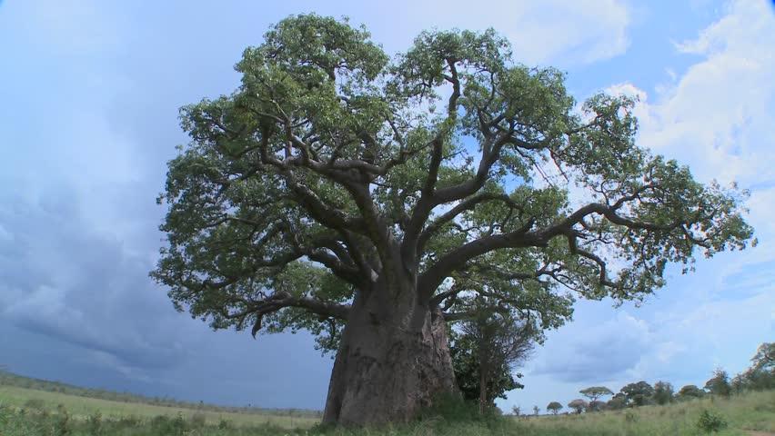 A slow zoom into a baobab tree on the plains of Tarangire, Tanzania.