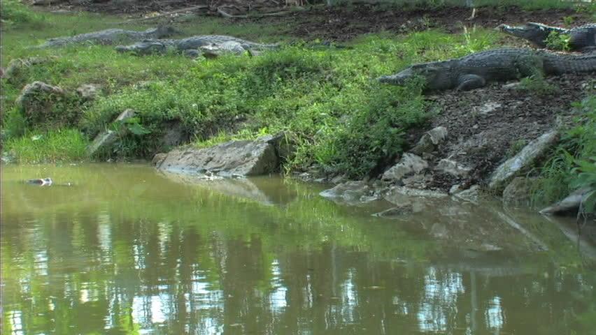 Header of Nile crocodile