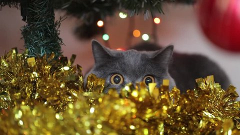British Cat With Big Eyes Hunts Under The Christmas Tree.