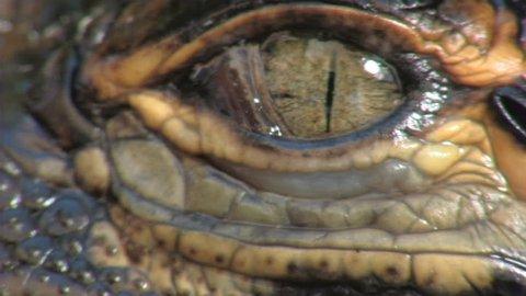 Alligators Hatching