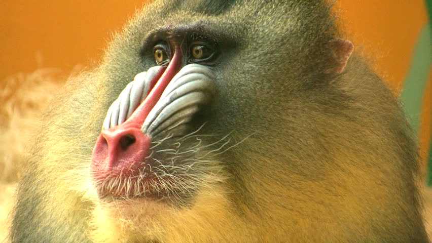 Closeup of a Mandrill's face