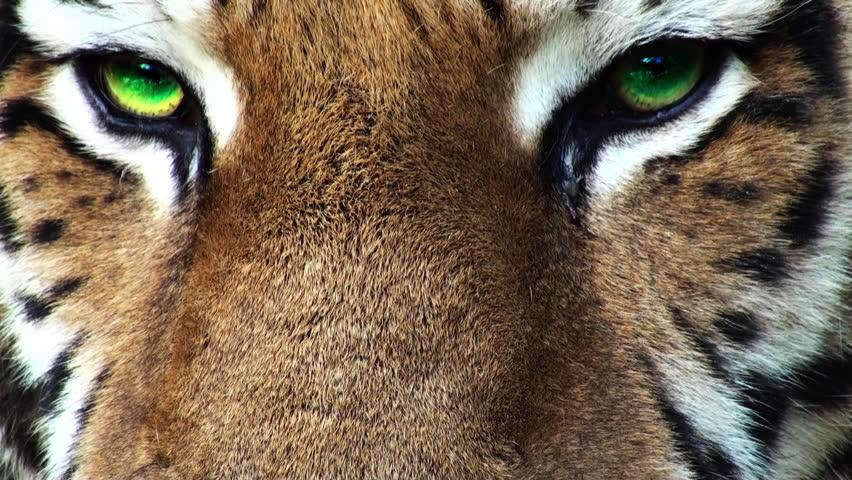 Программа Tiger Eyes
