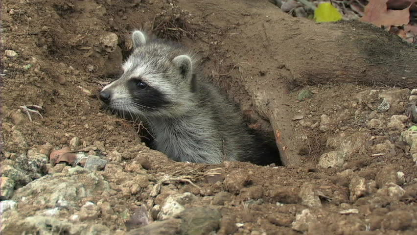 Baby Raccoon climbs out of den