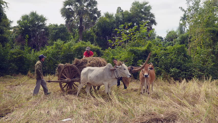 Farmers loading rice straw onto an ox cart in a hay field | Shutterstock HD Video #14933362