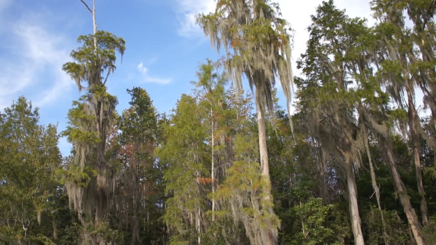 Cypress trees on Suwanee River in Georgia