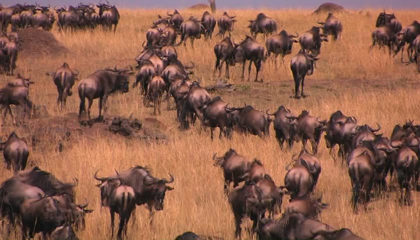 A herd of wildebeests stand or walk around on the plains.