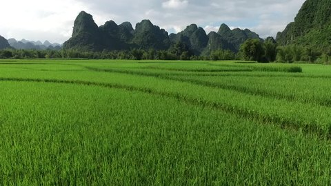 Aerial video, with drone, above ricefield, in a beautiful Vietnam landscape.