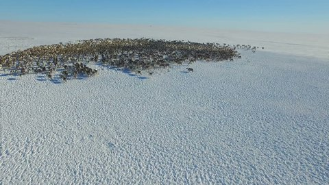 Aerial view of herd of reindeer, which ran on snow in tundra.