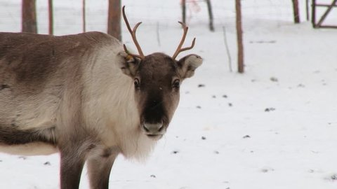 NELLIM, FINLAND – FEBRUARY 16, 2013: Young reindeer stands in the corral in winter in Nellim, Finland.