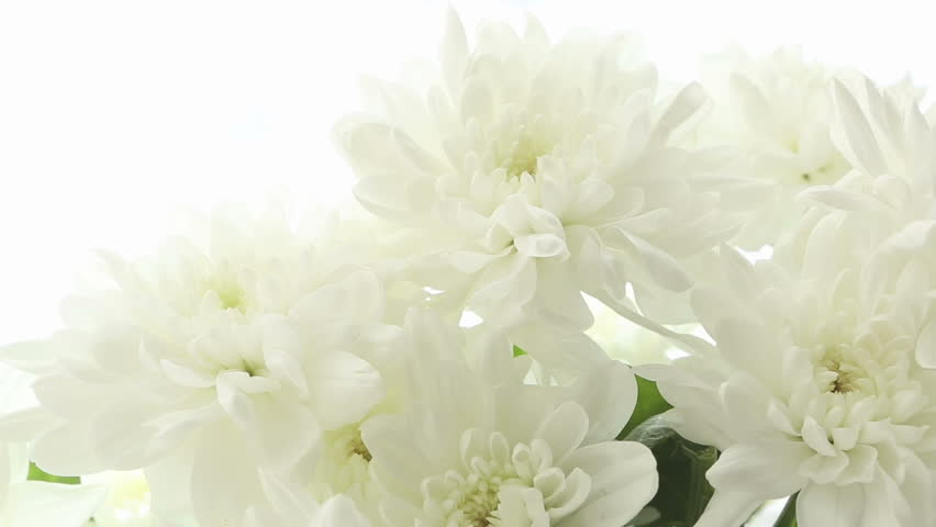 beautiful bouquet white chrysanthemums on white background. video, Beautiful flower