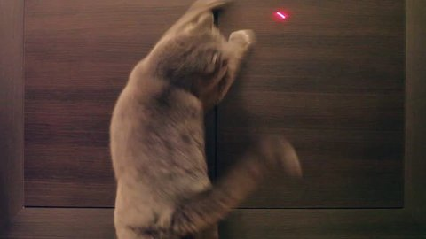 British Cat Playing With Red Dot. Wood Background.