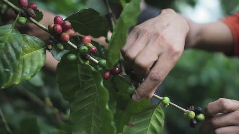 Coffee Farmers Picking Coffee Beans Cherries