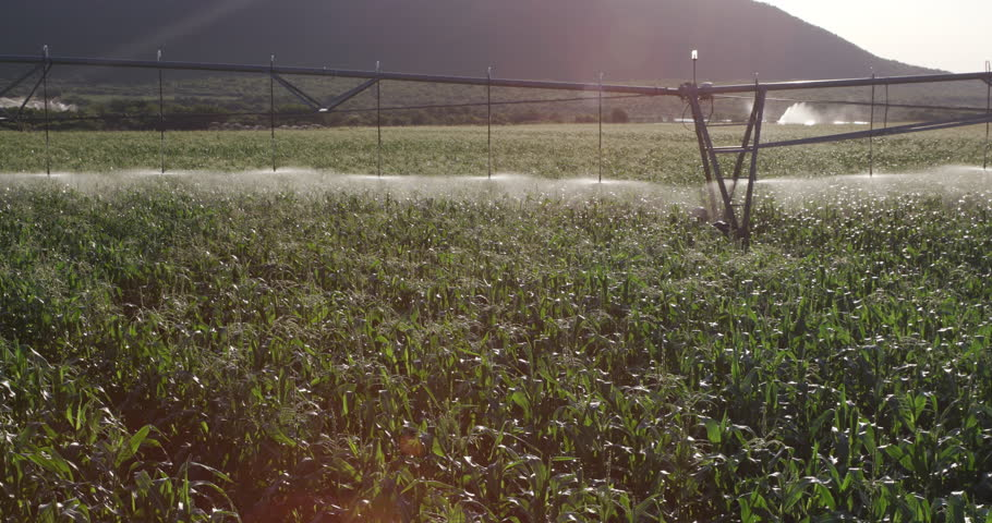 4K Panoramic shot of irrigated cornfield on a large scale commercial corn farm | Shutterstock HD Video #15266650