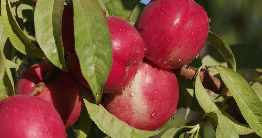 4K close up view of a bunch of red nectarines growing on a fruit tree on a large scale commercial fruit farm | Shutterstock HD Video #15266782