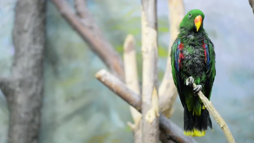 The eclectus parrot (Eclectus roratus) is a parrot native to the Solomon Islands, Sumba, New Guinea and nearby islands, northeastern Australia and the Maluku Islands (Moluccas).