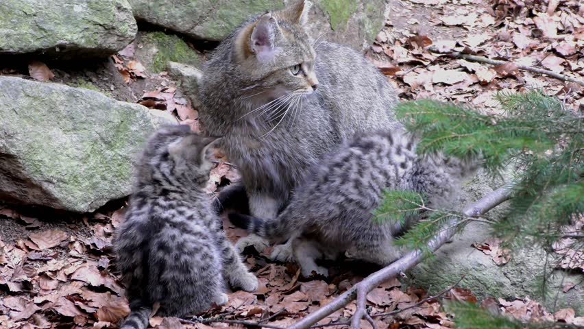 4K footage of a Wildcat (Felis silvestris) mother with her kitten in the Bayerischer Wald National Park in Bavaria, Germany. The wildcat is a small cat found throughout most of Africa, Europe and Asia
