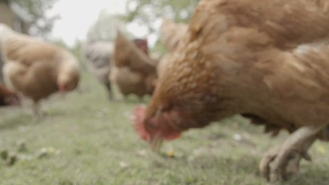 Slow-motion shot of free range chickens in a stack yard having a dirt bath. The super slow motion really shows the hens flicking dirt between there wings to rub away any parasites.