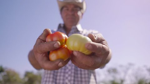 Farming and cultivations in Latin America. Portrait of middle aged farmer in tomato field, showing vegetables to the camera. The man stands proud and smiles. Low angle shot.