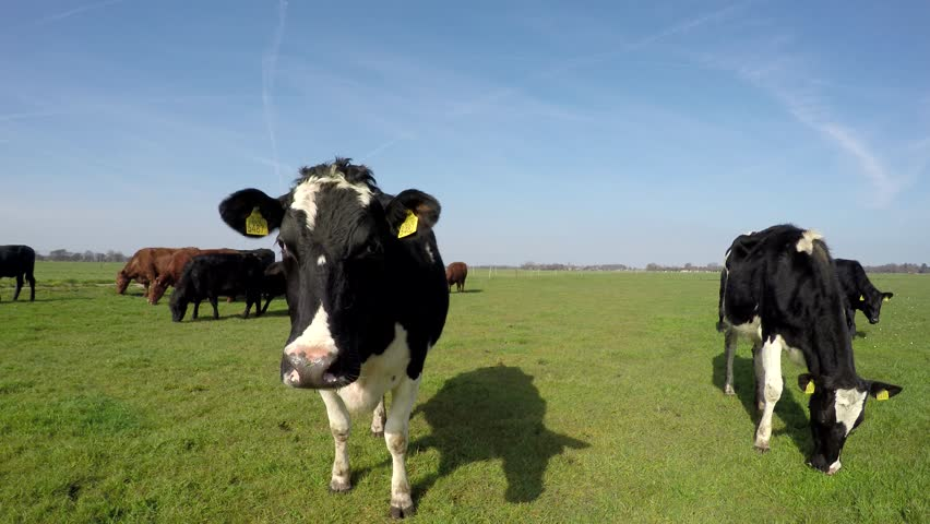 Spring cows watching and eating just outside again blue sky background beautiful weather animal enjoying the spring time and fresh green grass amazing blue sky mix species Holstein Aberdeen Angus 4k